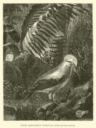 https://imgc.artprintimages.com/img/print/tunki-peruvianus-peruvian-cock-of-the-rock_u-l-pp54yv0.jpg?p=0