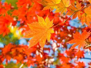 Red Yellow Fall Maple Leafs Illuminated by Sun Natural Background by tupikov