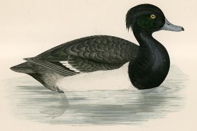 Tupted Duck-Beverley R. Morris-Giclee Print