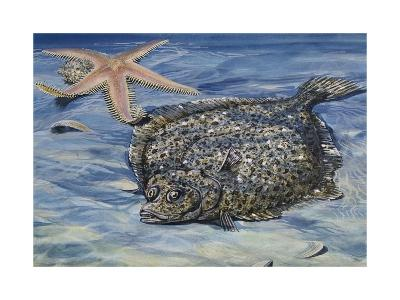 Turbot (Scophthalmus Maximus or Psetta Maxima), Scophthalmidae--Giclee Print