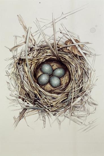 Turdus Merula (Blackbird), 1999-Sandra Lawrence-Giclee Print