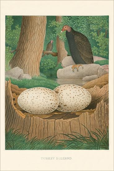 Turkey Buzzard--Art Print
