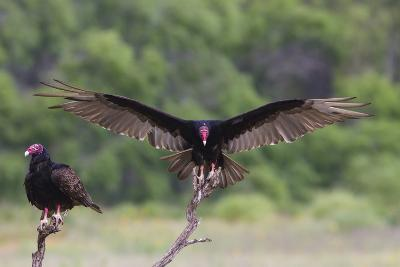 Turkey Vulture (Cathartes Aura) Landing, in Flight-Larry Ditto-Photographic Print
