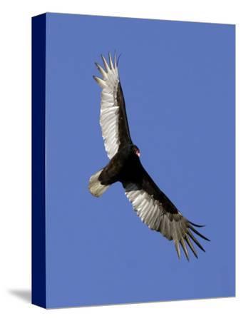 Turkey Vulture Soars Against a Cloudless Sky in Carmel