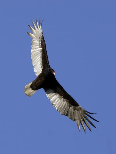 Turkey Vulture Soars Against a Cloudless Sky in Carmel--Photographic Print