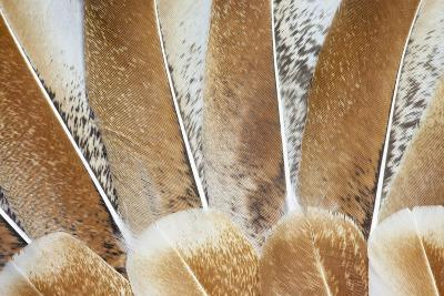 Turkey Wing Feathers Fanned Out-Darrell Gulin-Photographic Print
