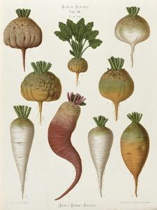 """Turnips, from the """"Album Benary"""", Tab. XIII, Brussels"""