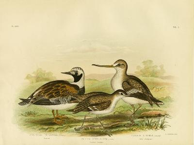 Turnstone, 1891-Gracius Broinowski-Giclee Print