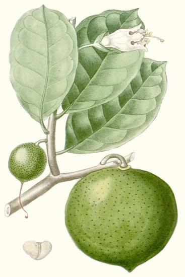 Turpin Fruit III--Art Print