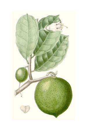Turpin Fruit III--Premium Giclee Print