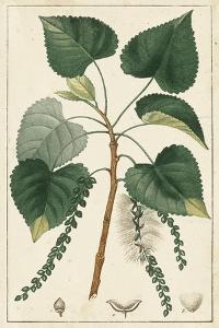 Turpin Poplar Tree by Turpin