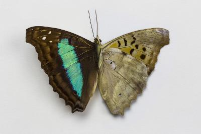 Turquoise Emperor Butterfly, Comparing the Top Wing and Bottom Wing-Darrell Gulin-Photographic Print