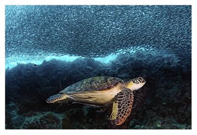https://imgc.artprintimages.com/img/print/turtle-and-sardines_u-l-f8wgqr0.jpg?p=0