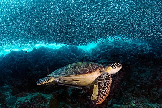 Turtle and Sardines-Henry Jager-Photographic Print