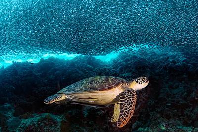 https://imgc.artprintimages.com/img/print/turtle-and-sardines_u-l-q11dg610.jpg?p=0