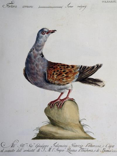 Turtle Dove (Turtur Vulgaris)--Giclee Print