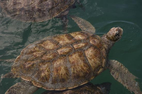 Turtle Farm, Green Sea Turtle, Grand Cayman, Cayman Islands, British West Indies-Lisa S^ Engelbrecht-Photographic Print