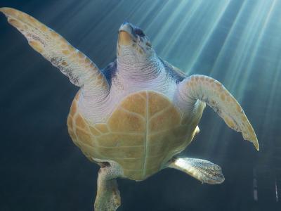 Turtle Swimming in Aquarium--Photographic Print