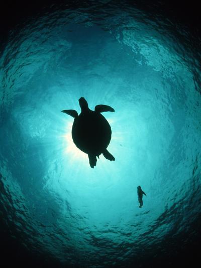 Turtle Swimming-Matthew Oldfield-Photographic Print