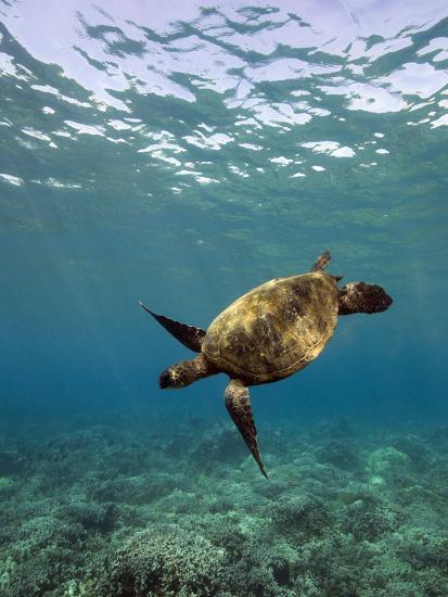 Turtle Swimming-David Olsen-Photographic Print