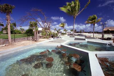 Turtle Yearlings In Pool Cayman Turtle Farm-George Oze-Photographic Print