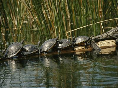 Turtles Line Up on the Safe Side of an Alligator-Raymond Gehman-Photographic Print