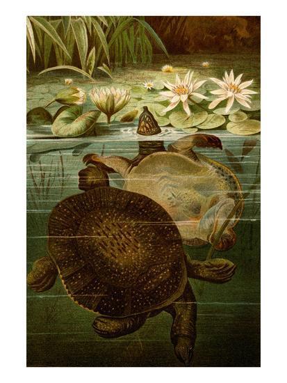 Turtles-F^W^ Kuhnert-Art Print