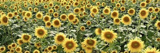 Tuscan Sunflower Pano #1-Alan Blaustein-Photographic Print