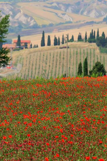 Tuscan Vertical Poppies-Robert Goldwitz-Photographic Print