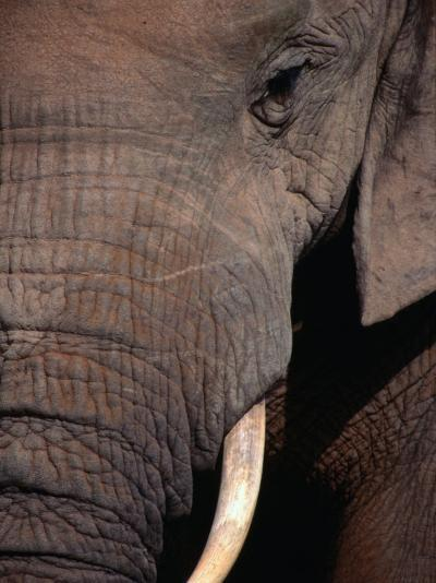 Tusk and Trunk Detail of an Elephant in the Addo Elephant Park,Eastern Cape, South Africa-Carol Polich-Photographic Print
