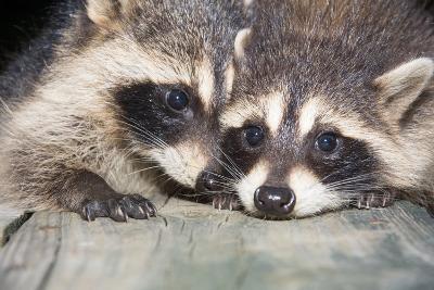 Tw Baby Raccoon-EEI_Tony-Photographic Print