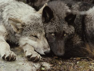 Twenty-Week-Old Gray Wolf Pups, Canis Lupus, Rest Together-Jim And Jamie Dutcher-Photographic Print