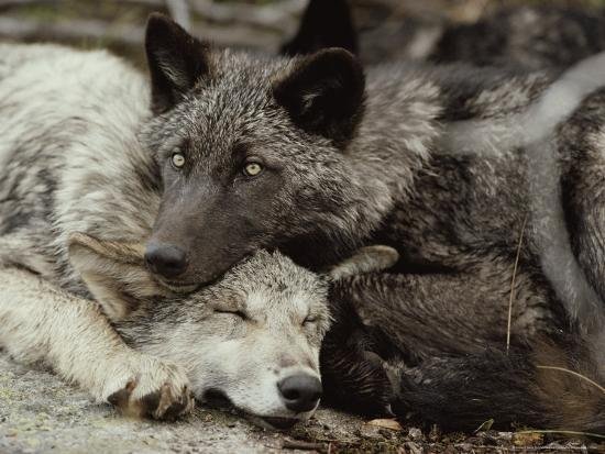 Twenty-Week-Old Gray Wolves, Canis Lupus, Rest Together-Jim And Jamie Dutcher-Photographic Print