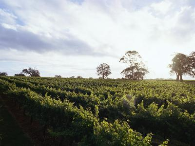 Twilight Clouds over Vineyards in Coonawarra, Wine Country-Jason Edwards-Photographic Print