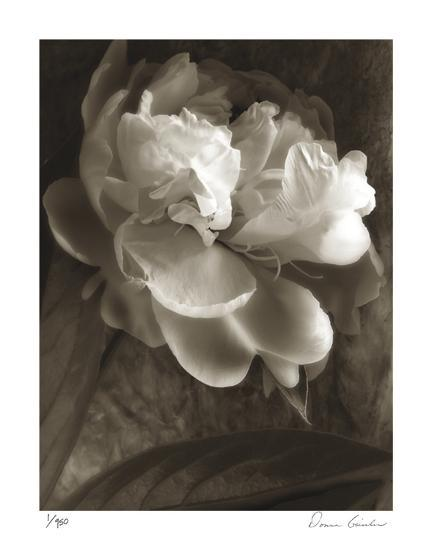 Twilight Peony-Donna Geissler-Giclee Print