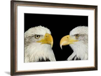 Twin Portrait of Bald Eagles Isolated on Black-Veneratio-Framed Photographic Print