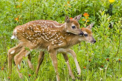 Twin White-Tailed Deer Fawns Nuzzling Together in Meadow Minnesota Spring Captive-Design Pics Inc-Photographic Print