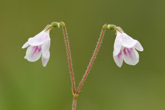 Twinflower (Linnaea Borealis) in Flower in Pine Woodland, Abernethy National Nr, Scotland, UK-Mark Hamblin-Photographic Print