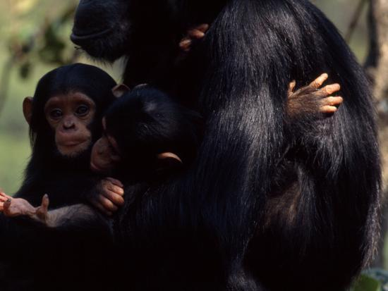 Twins, Extremely Rare in Chimpanzees, with their Mother, Gombe Stream National Park, Tanzania-Michael Nichols-Photographic Print