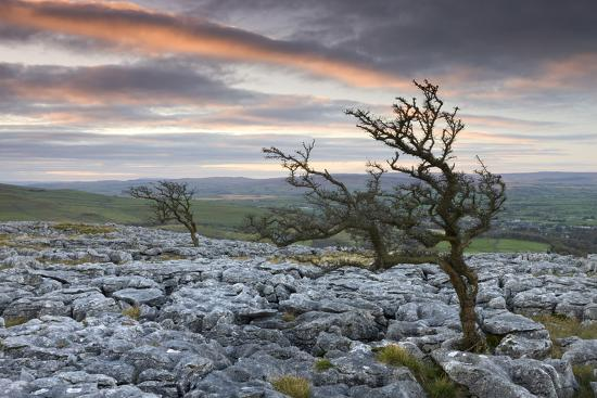 Twisted Hawthorn Trees Growing Through the Limestone Pavement on Twistleton Scar, Yorkshire-Adam Burton-Photographic Print