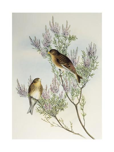 Twite (Carduelis Flavirostris)-John Gould-Giclee Print