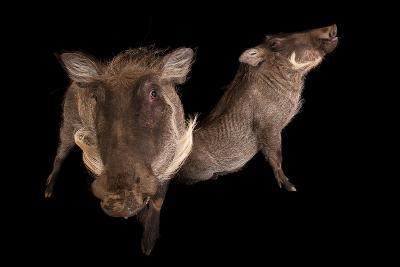 Two 8-Month-Old Common Warthogs, Phacochoerus Africanus, at the Columbus Zoo.-Joel Sartore-Photographic Print
