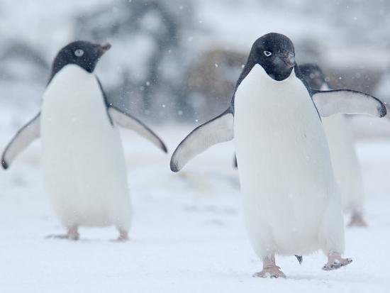 Two Adelie Penguins Walking on Snow, Antarctica-Edwin Giesbers-Photographic Print
