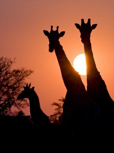 Two Adult Giraffes and a Baby Silhouetted by an Orange Sunset-Karine Aigner-Photographic Print