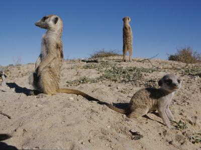Two Adult Meerkats (Suricata Suricatta) Stand on a Mound-Mattias Klum-Photographic Print
