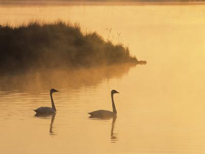 Two Adult Trumpeter Swans (cvanus Buccinator) in Morning Light at the Mouth of Junction Creek, Wald-Don Johnston-Photographic Print