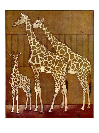 Two Adults and a Baby Giraffe in Captivity--Giclee Print