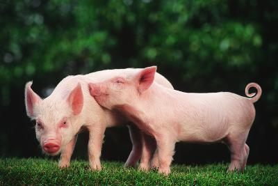 Two Affectionate Piglets-DLILLC-Photographic Print