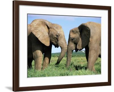 Two African Elephants, Loxodonta Africana, Addo, South Africa, Africa-Ann & Steve Toon-Framed Photographic Print