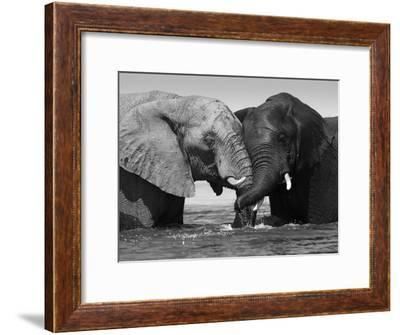Two African Elephants Playing in River Chobe, Chobe National Park, Botswana-Tony Heald-Framed Photographic Print